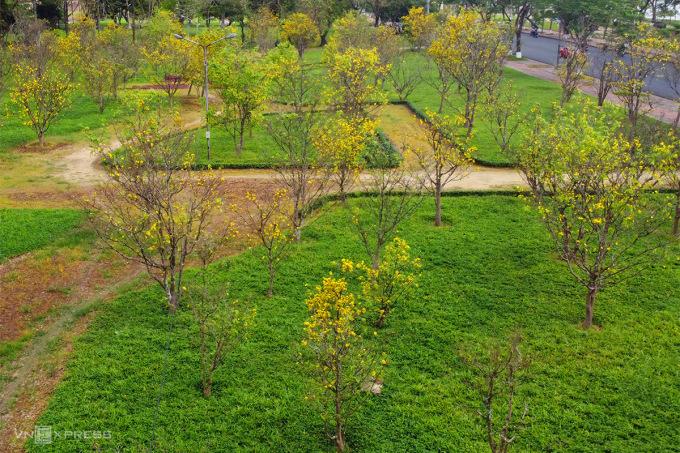Vường mai vàng Huế ở công viên trên đường Lê Duẩn. Ảnh: Võ Thạnh