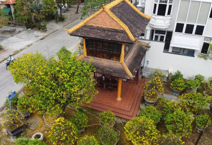 Hoàng mai trở thành loài cây cảnh đắt đỏ ở Huế được nhiều đại gia săn tìm. Ảnh: Võ Thạnh
