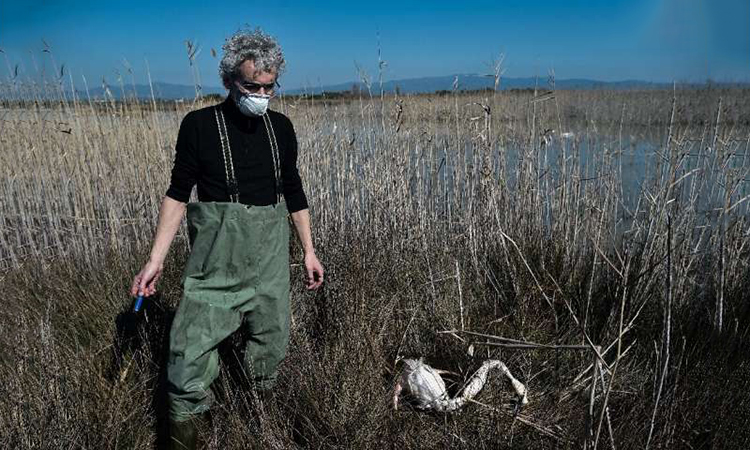 Hồng hạc chết hàng loạt do nhiễm độc chì