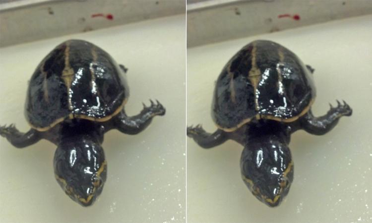 Rùa sống trong dạ dày cá vược miệng rộng