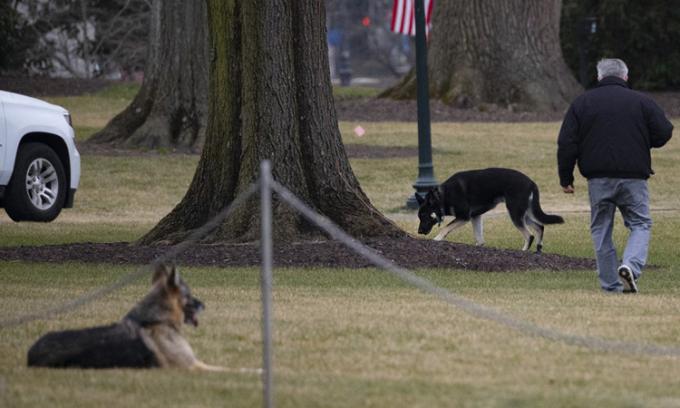 Hai chó cưng của Tổng thống Mỹ Joe Biden nô đùa tại bãi cỏ Nhà Trắng hồi tháng 1. Ảnh: AFP.
