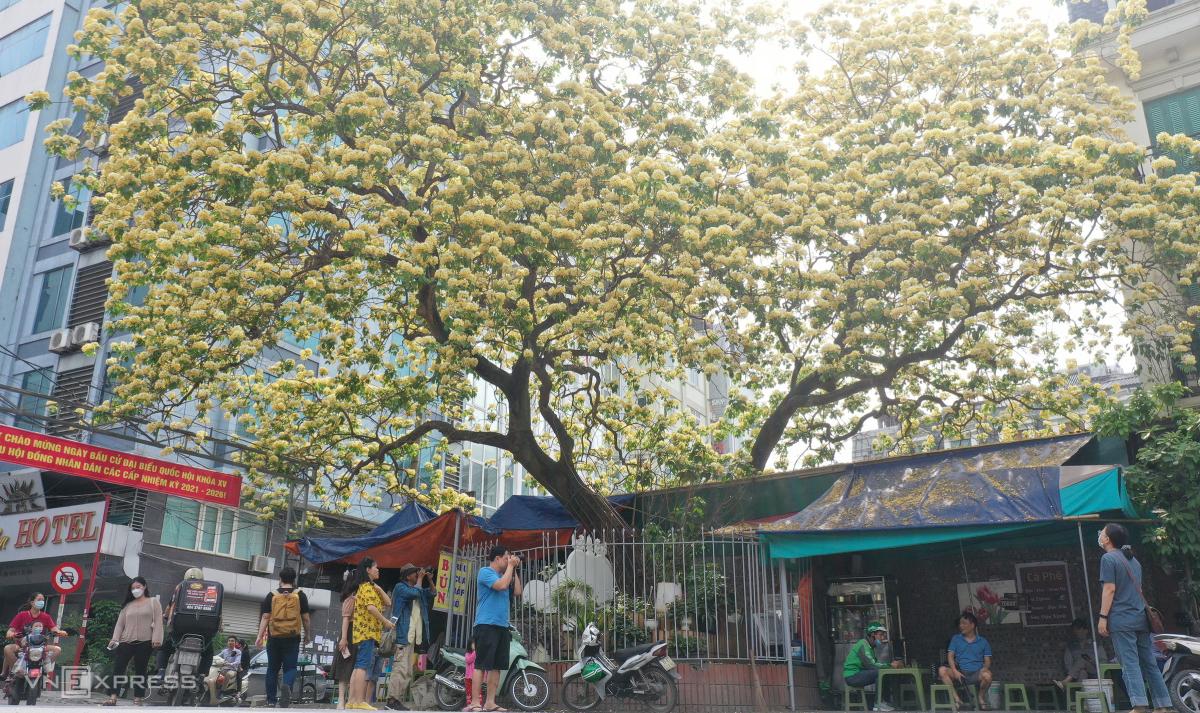 Cây hoa bún trăm tuổi toả hương khoe sắc - Ảnh 2