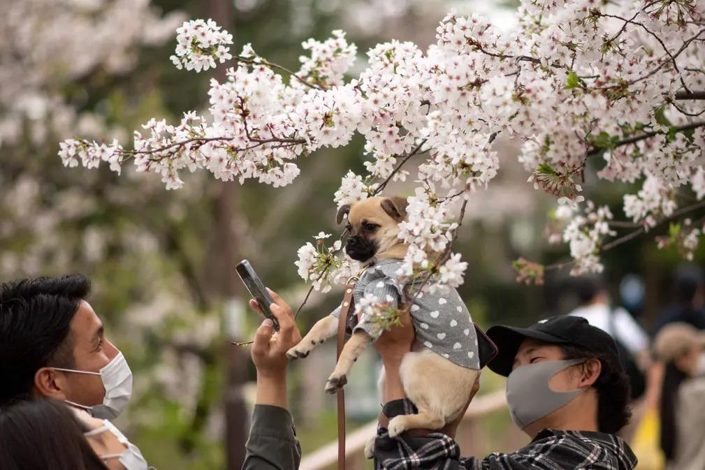 Hoa anh đào Nhật nở sớm nhất trong 1.200 năm