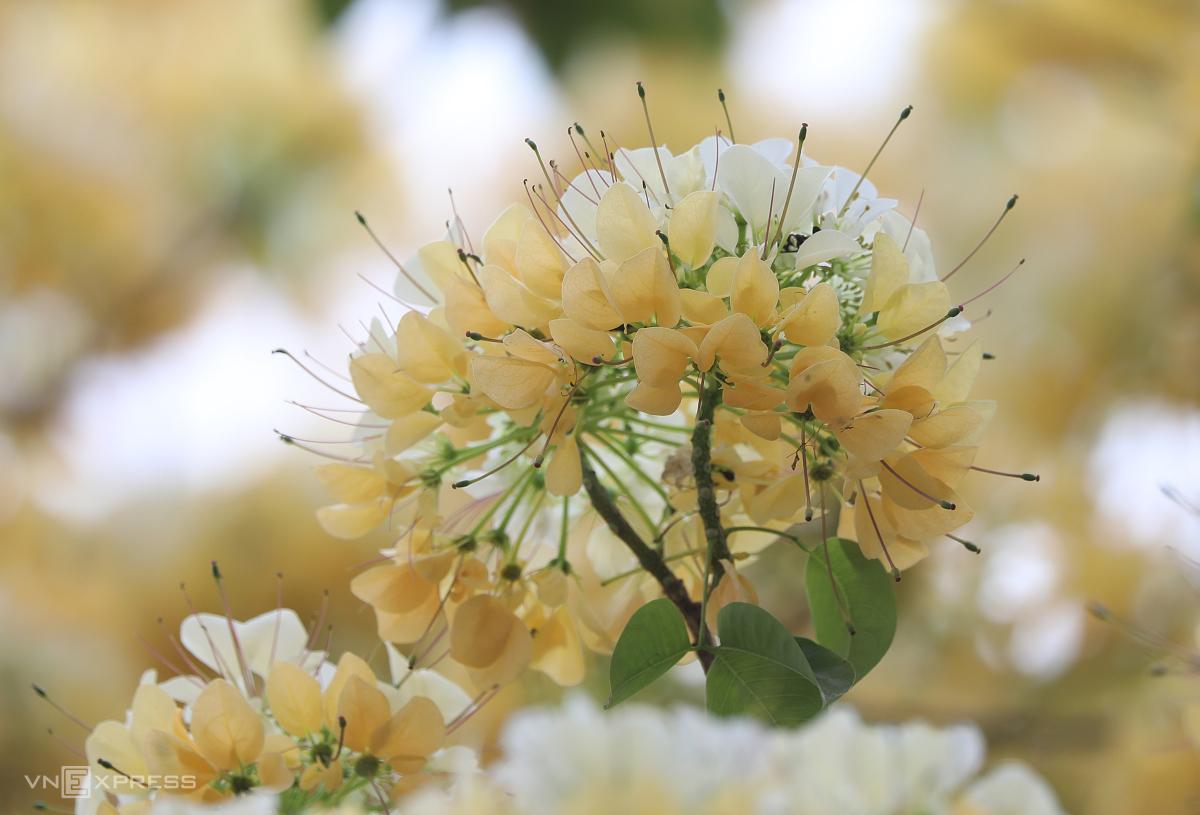 Cây hoa bún trăm tuổi toả hương khoe sắc - Ảnh 6