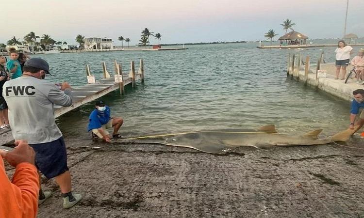 Cá kiếm lớn nhất thế giới dạt vào Florida