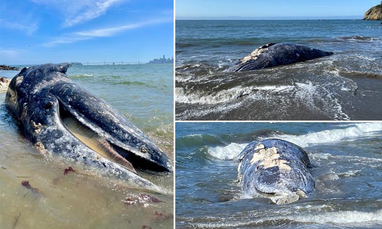 Cá voi liên tiếp chết dạt vào vịnh San Francisco