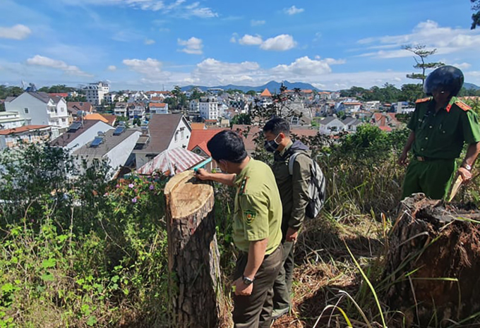 Lực lượng chức năng khám nghiệm hiện trường vụ rừng thông bị đốn hạ. Ảnh: Khánh Hương