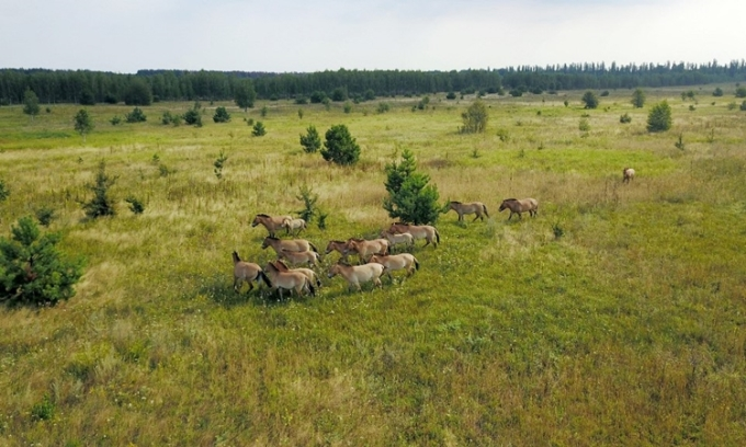 Đàn ngựa hoang Mông Cổ chạy ở Chernobyl hồi tháng 8/2017. Ảnh: AFP.