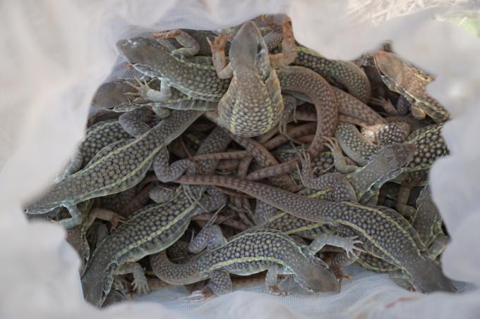 Dông hương được đào từ các đồi cát tự nhiên ở ven biển Phan Thiết (Bình Thuận) có giá 800.000 đồng một kg. Ảnh: Việt Quốc.