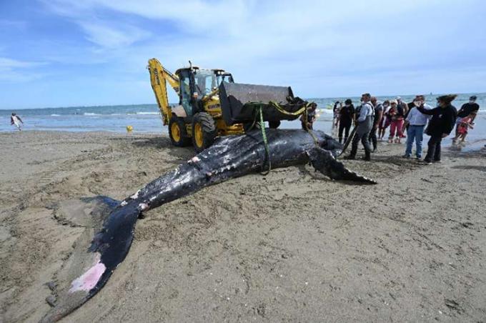 Cá voi lưng gù chết dạt vào bãi biển Carnon của Pháp. Ảnh: AFP.
