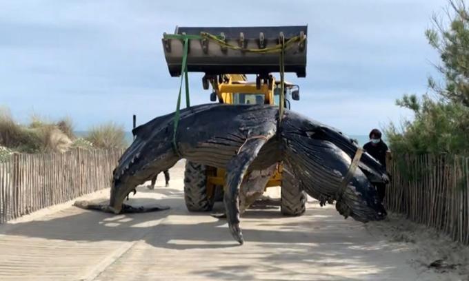 Máy xúc cẩu xác cá voi và di dời khỏi bãi biển. Ảnh: AFP.