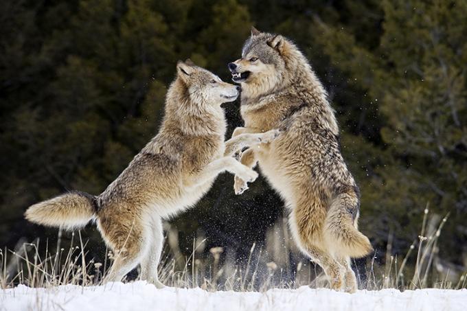 Một cặp sói xám nô đùa trên tuyết ở bang Montana của Mỹ. Ảnh: Dennis Fast.