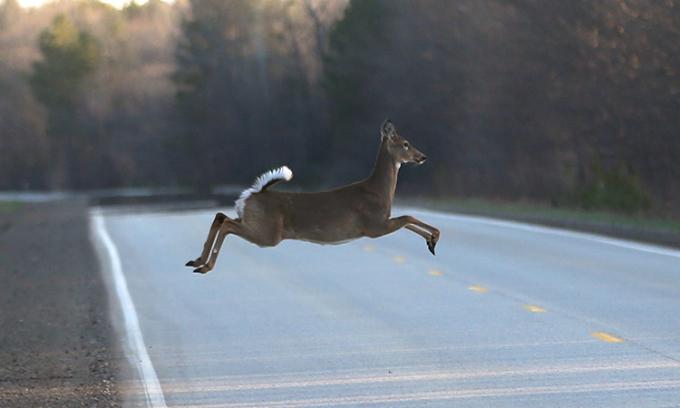 Một con hươu băng qua đường ở bang Michigan, Mỹ. Ảnh: Carlos Osorio.