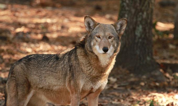 Quần thể sói đỏ hoang dã hiện chỉ còn vài chục con ở Bắc California. Ảnh: Sam Bland.