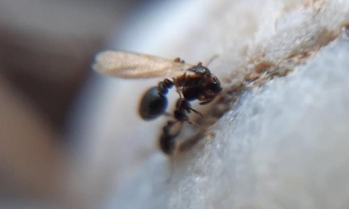 Kiến thợ Cardiocondyla elegans cõng kiến chúa tới tổ khác. Ảnh: Mathilde Vidal.