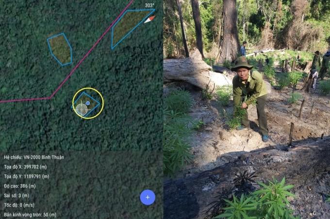 Vườn cần sa tại đọa độ khoanh tròn được phát hiện trên núi Mây Tào, ngày 12/5. Ảnh: Tư Huynh.