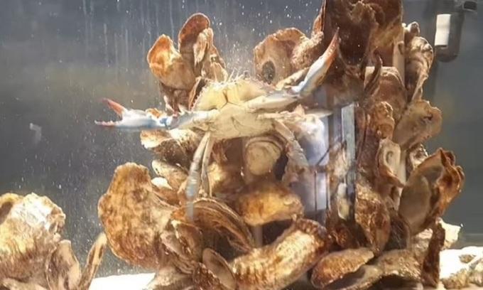 Con cua xanh đặc biệt đang được chăm sóc trong bể thủy cung. Ảnh: Bảo tàng khám phá Delmarva.