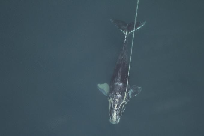 Một con cá voi trơn Bắc Đại Tây Dương vướng phải thiết bị đánh cá bỏ đi. Ảnh: NOAA.
