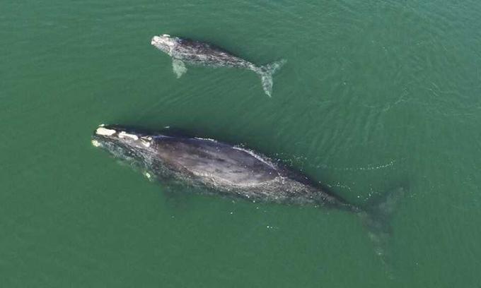 Mẹ con cá voi trơn Bắc Đại Tây Dương xuất hiện gần đảo Wassaw ở Georgia. Ảnh: NOAA.