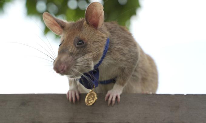 Chuột Magawa đeo huân chương của tổ chức PDSA hồi năm ngoái. Ảnh: PDSA.
