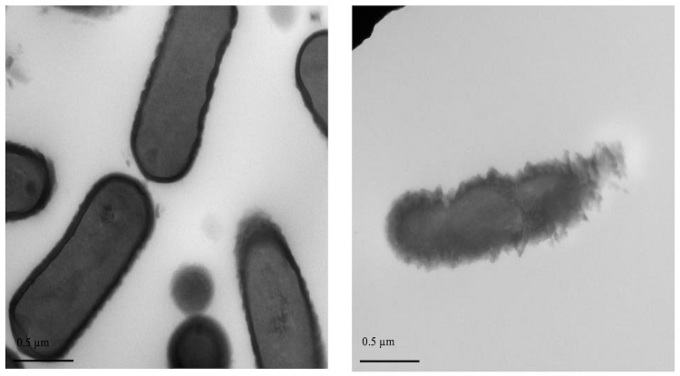 Hợp chất Plantacyclin B21AG được phân lập từ nem chua có khả năng tiêu diệt vi khuẩn có hại. Ảnh: Minh Ngọc.