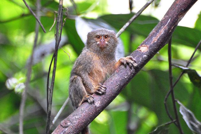 Khỉ sóc đuôi lùn tây bắc (Cebuella pygmaea). Ảnh: Don Faulkner.