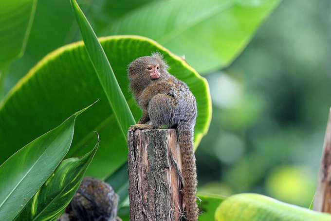 Khỉ sóc đuôi lùn tây nam (Cebuella niveiventris). Ảnh: Zoo-leipzig.