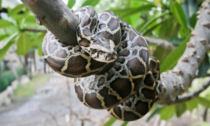 Trăn Miến Điện ở vùng đầm lầy Everglades. Ảnh: National Geographic.