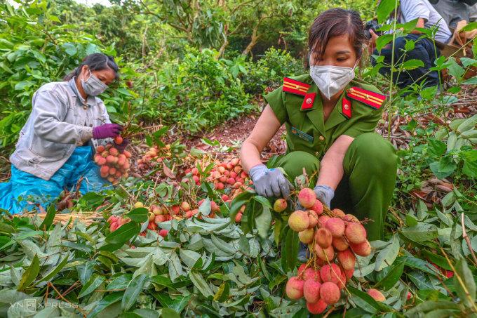 Công an Bắc Giang giúp người dân thu hoạch vải thiều chín sớm, hôm 5/6. Ảnh: Giang Huy