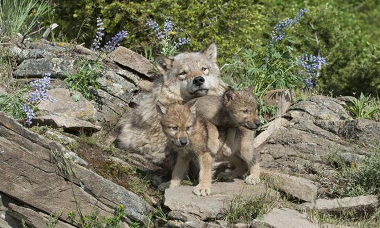 Lứa sói xám con đầu tiên ở Colorado sau 80 năm