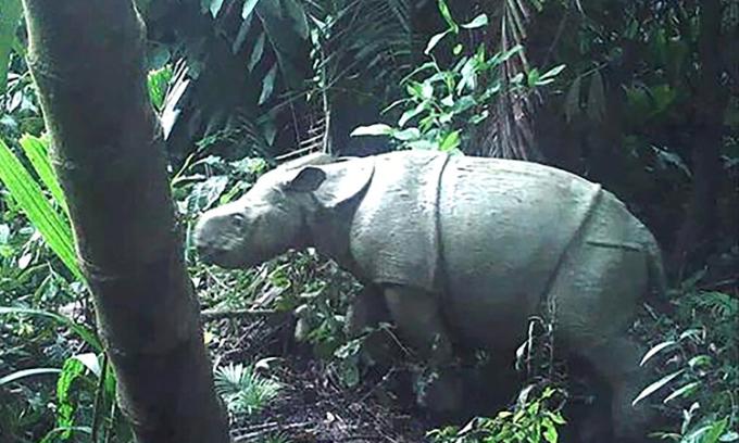 Một trong hai con tê giác Java con mới được phát hiện ở Ujung Kulon. Ảnh: Bộ Môi trường Indonesia.