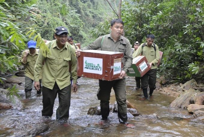 Anh Thái (bên phải) cùng cộng sự tổ chức chuyến tái thả trong rừng. Ảnh: SVW.