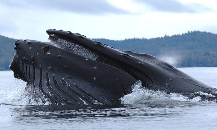 Thợ lặn thoát chết khi bị cá voi nuốt