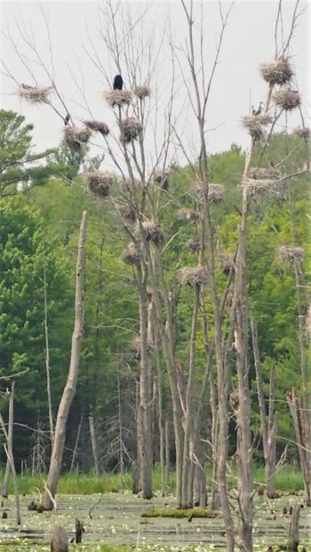 Tổ chim diệc nằm ở độ cao khoảng 23 m trên một thân cây mảnh dẻ. Ảnh: Ken MacDonald.