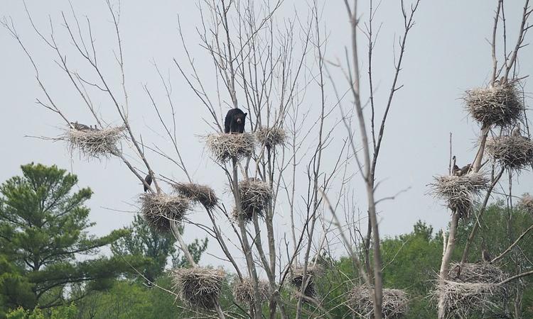 Gấu đen trèo lên tổ chim cao hơn 20 m kiếm ăn