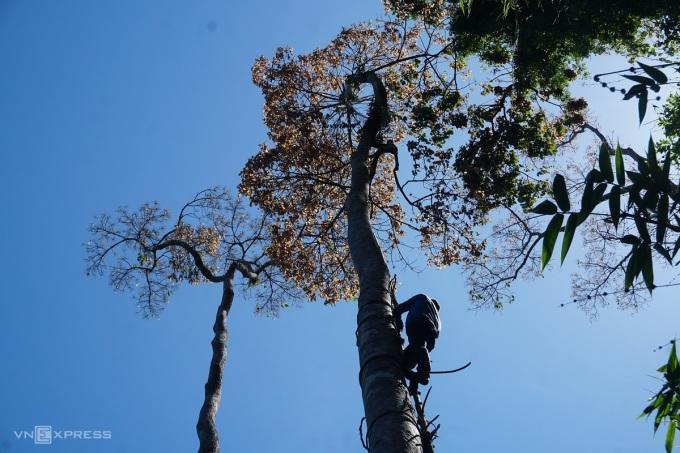 Anh Sắt cột dây thừng quanh thân để leo cây ươi cao 40m. Ảnh: Phạm Linh.