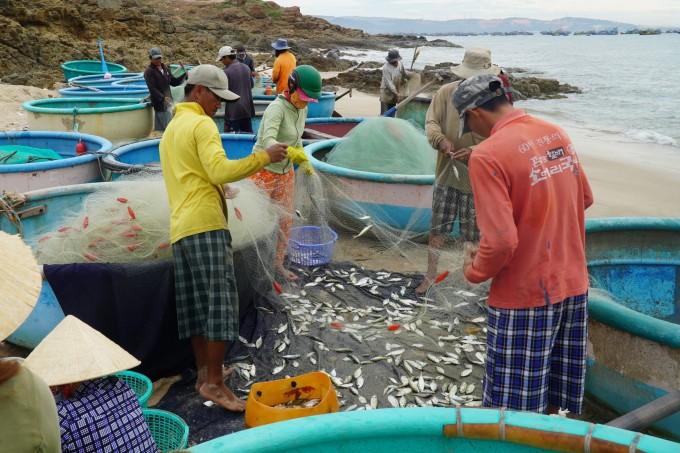 Ngư dân Mũi Né gỡ cá ra khỏi lưới ở gành Bãi Sau, sáng 7/7. Ảnh: Việt Quốc.