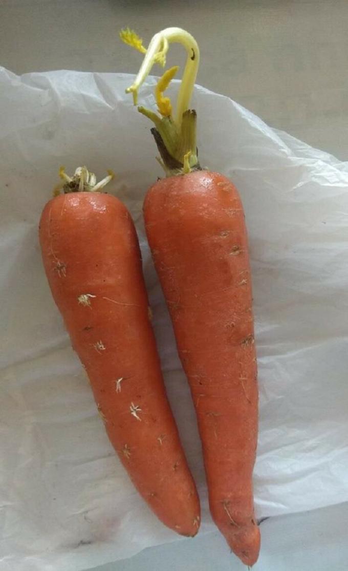 Cà rốt cũng tranh thủ mọc mầm trong mùa dịch.
