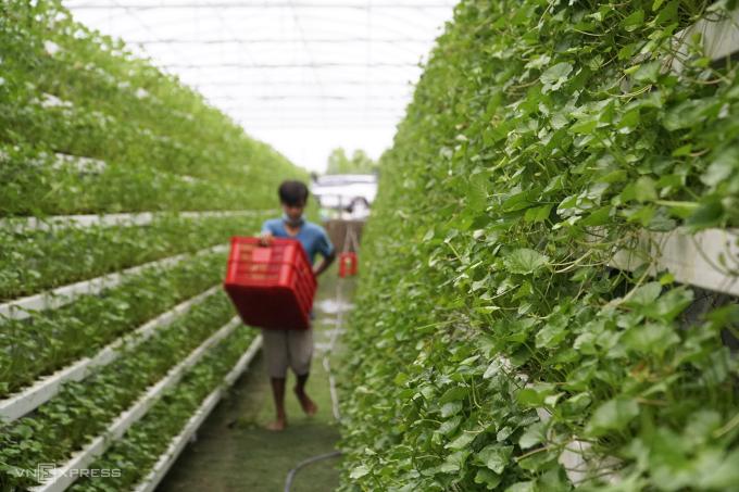 Vườn rau má thuỷ canh của anh Beo mỗi ngày mang về thu nhập vài triệu đồng. Ảnh: Ngọc Tài