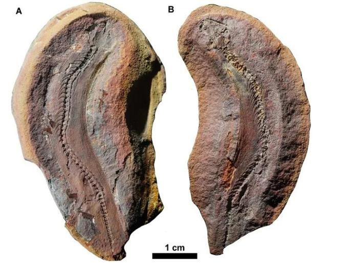 Hóa thạch gần như hoàn chỉnh của Joermungandr bolti. Ảnh: AFP.