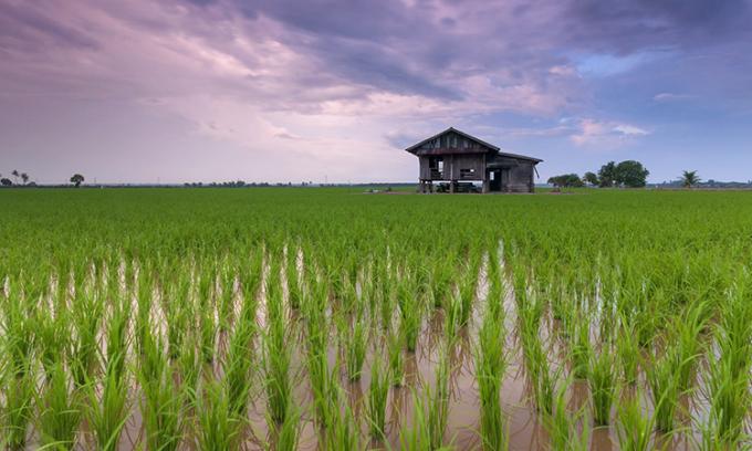 Lúa được bổ sung gene FTO cho khả năng sinh trưởng nhanh và chịu hán tốt. Ảnh: CC0 Public Domain.