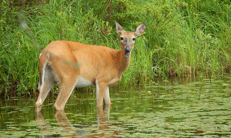 Hơn một nửa hươu đuôi trắng ở Michigan nhiễm Covid-19