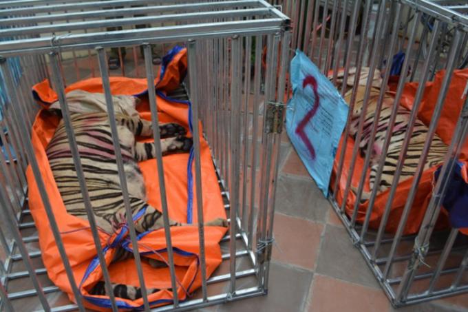 Các con hổ sau khi được bắn thuốc mê, đưa vào lồng sắt chuẩn bị chuyển đi khỏi hiện trường. Ảnh: Công an cung cấp