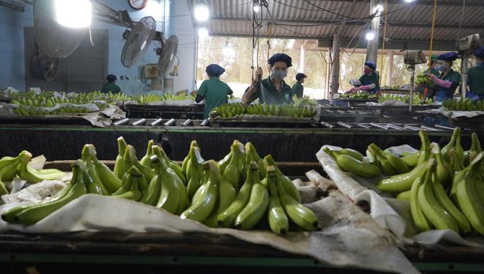 Công nhân làm việc tại xưởng đóng gói tại trang trại chuối phải khử khuẩn, đeo khẩu trang và được tiêm vaccine mũi 1. Ảnh: Hoàng Nam