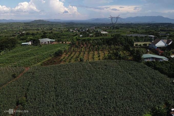 Sau khi tiêu hồ tiêu chết vì dịch bệnh, nông dân chuyển sang trồng cà phê, ngô, mì. Ảnh: Trần Hoá