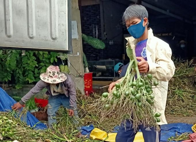 Công nhân ở lò cau phân loại cau ở huyện Sơn Tây. Ảnh: Thành Hòa