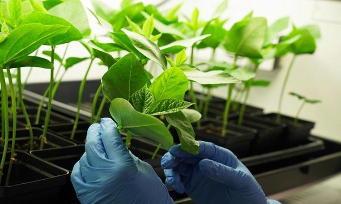 Nhóm nghiên cứu sử dụng cây đậu đũa để tạo vaccine. Ảnh: UC San Diego