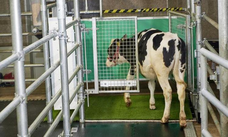 Huấn luyện bò đi vệ sinh 'đúng nơi quy định'