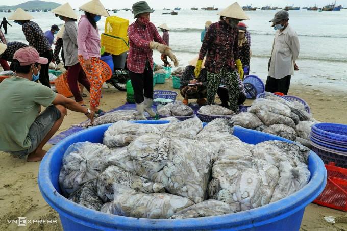 Thương lái đang thu mua bạch tuộc trên bến Bãi Sau, Mũi Né. Ảnh: Việt Quốc