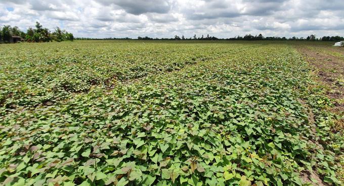 Ruộng khoai lang của nông dân huyện Bình Tân, tỉnh Vĩnh Long. Ảnh: Châu Thành